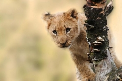 lioncub