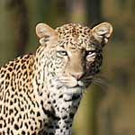 leopardthumb
