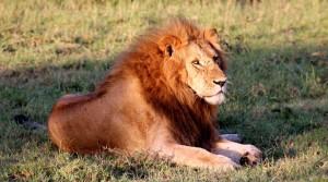 lionmale2