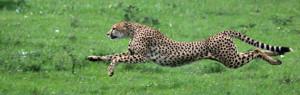 cheetahrunning