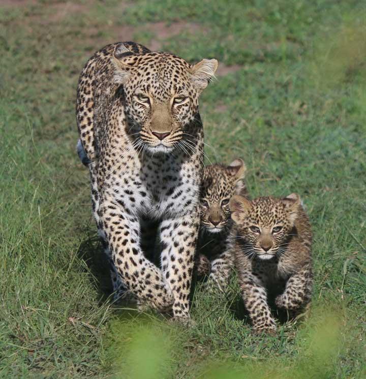 leopardandcubs